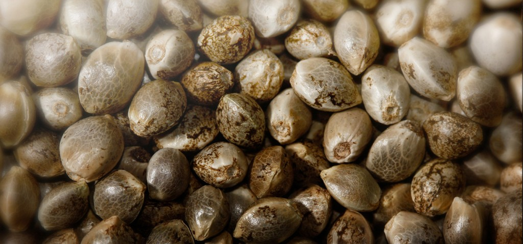cannabis-sativa-seeds